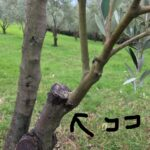 オリーブの接ぎ木