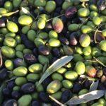 スペイン産オリーブオイルの77%はアンダルシア州
