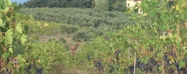 オリーブ畑とぶどう畑