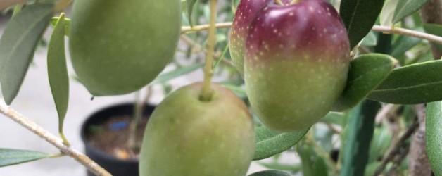 オリーブ収穫シーズン到来