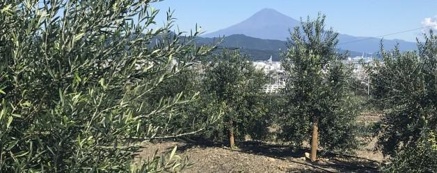 日本国産オリーブオイル